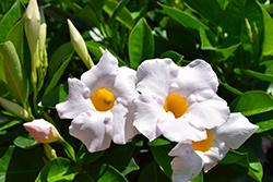 Sundenia White Mandevilla (Mandevilla 'Sundenia White') at Roger's Gardens