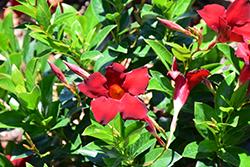 Sun Parasol Garden Crimson Mandevilla (Mandevilla 'Sunparacore') at Roger's Gardens