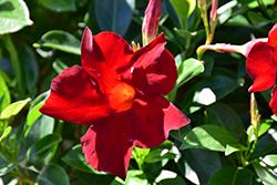 Sundenia Red Mandevilla (Mandevilla 'Sundenia Red') at Roger's Gardens
