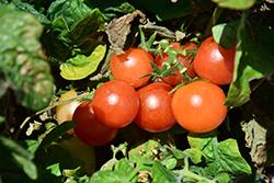 Red Robin Tomato (Solanum lycopersicum 'Red Robin') at Roger's Gardens