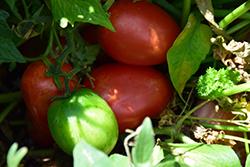 Little Napoli Tomato (Solanum lycopersicum 'Little Napoli') at Roger's Gardens