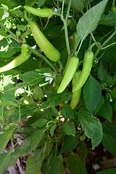 Rio Grande Hot Pepper (Capsicum annuum 'Rio Grande') at Roger's Gardens