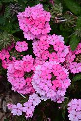 Empress Sun Pink Verbena (Verbena 'Empress Sun Pink') at Roger's Gardens