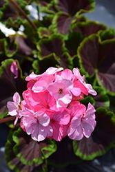BullsEye Light Pink Geranium (Pelargonium 'BullsEye Light Pink') at Roger's Gardens