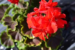 BullsEye Red Geranium (Pelargonium 'BullsEye Red') at Roger's Gardens