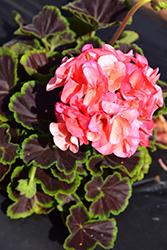 BullsEye Salmon Geranium (Pelargonium 'BullsEye Salmon') at Roger's Gardens