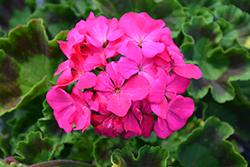 Maverick Rose Geranium (Pelargonium 'Maverick Rose') at Roger's Gardens