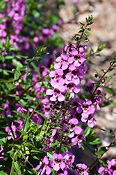 Sungelonia Deep Pink Angelonia (Angelonia angustifolia 'Sungelonia Deep Pink') at Roger's Gardens