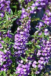 Sungelonia Blue Angelonia (Angelonia angustifolia 'Sungelonia Blue') at Roger's Gardens