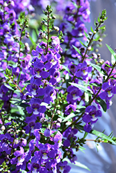 Statuesque Blue Angelonia (Angelonia angustifolia 'Statuesque Blue') at Roger's Gardens