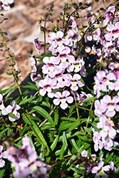 Pinstripe Vintage Pink Angelonia (Angelonia angustifolia 'Pinstripe Vintage Pink') at Roger's Gardens