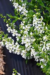 Serena White Angelonia (Angelonia angustifolia 'PAS1209522') at Roger's Gardens