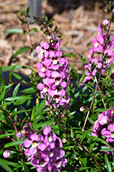 AngelMist Spreading Pink Angelonia (Angelonia angustifolia 'Balangspini') at Roger's Gardens