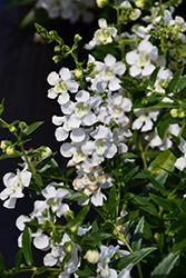 AngelMist Spreading White Angelonia (Angelonia angustifolia 'Balangspri') at Roger's Gardens