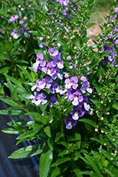 Archangel Blue Bicolor Angelonia (Angelonia angustifolia 'Balarclubi') at Roger's Gardens