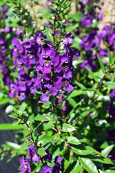 Angelina Dark Purple Angelonia (Angelonia angustifolia 'Angelina Dark Purple') at Roger's Gardens