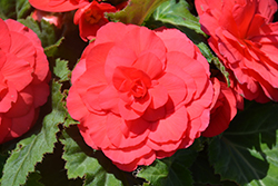 Nonstop Deep Rose Begonia (Begonia 'Nonstop Deep Rose') at Roger's Gardens