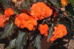Nonstop Mocca Bright Orange Begonia (Begonia 'Nonstop Mocca Bright Orange') at Roger's Gardens