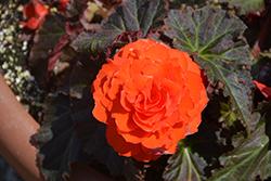 Nonstop Mocca Deep Orange Begonia (Begonia 'Nonstop Mocca Deep Orange') at Roger's Gardens