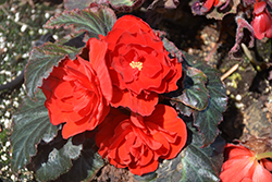 Nonstop Mocca Red Begonia (Begonia 'Nonstop Mocca Red') at Roger's Gardens
