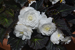 Nonstop Mocca White Begonia (Begonia 'Nonstop Mocca White') at Roger's Gardens