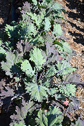 Red Russian Kale (Brassica napus var. pabularia 'Red Russian') at Roger's Gardens