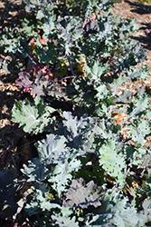 Red Ursa Kale (Brassica napus var. pabularia 'Red Ursa') at Roger's Gardens