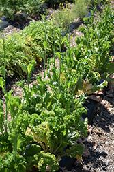 Green Wave Mustard (Brassica juncea 'Green Wave') at Roger's Gardens