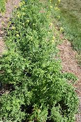 Lime Streaks Mizuna (Brassica rapa var. nipposinica 'Lime Streaks') at Roger's Gardens