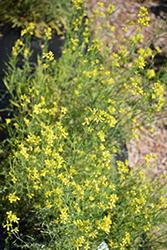Red Streaks Mizuna (Brassica rapa var. nipposinica 'Red Streaks') at Roger's Gardens