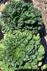 Tatsoi (Brassica rapa var. narinosa) at Roger's Gardens