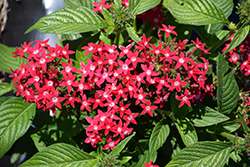 Graffiti Bright Red Star Flower (Pentas lanceolata 'Graffiti Bright Red') at Roger's Gardens