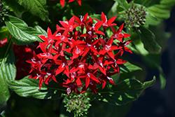 Graffiti Red Velvet Star Flower (Pentas lanceolata 'Graffiti Red Velvet') at Roger's Gardens