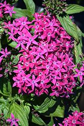 Graffiti Violet Star Flower (Pentas lanceolata 'Graffiti Violet') at Roger's Gardens