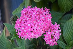 Butterfly Deep Pink Star Flower (Pentas lanceolata 'PAS2208') at Roger's Gardens