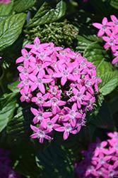 Butterfly Lavender Shades Star Flower (Pentas lanceolata 'Butterfly Lavender Shades') at Roger's Gardens