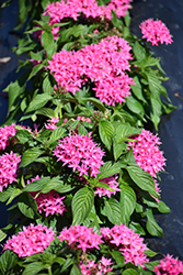 Lucky Star Dark Pink Star Flower (Pentas lanceolata 'Lucky Star Dark Pink') at Roger's Gardens