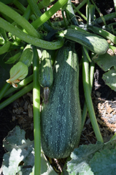 Cocozelle Zucchini (Cucurbita pepo var. cylindrica 'Cocozelle') at Roger's Gardens