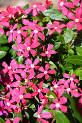 Soiree Kawaii Coral Vinca (Catharanthus roseus 'Soiree Kawaii Coral') at Roger's Gardens