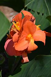 Cannova Orange Shades Canna (Canna 'Cannova Orange Shades') at Roger's Gardens