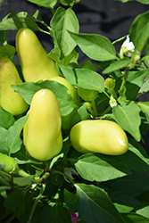 Ponky Peppers Spicy Jane (Capsicum annuum 'Spicy Jane') at Roger's Gardens
