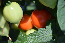 Heartbreakers Dora Tomato (Solanum lycopersicum 'Heartbreakers Dora') at Roger's Gardens
