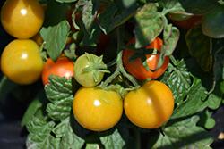 Ponchi-Fa Tomato (Solanum lycopersicum 'Ponchi-Fa') at Roger's Gardens