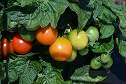 Ponchi-Re Tomato (Solanum lycopersicum 'Ponchi-Re') at Roger's Gardens