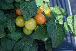 Ponchi-Mi Tomato (Solanum lycopersicum 'Ponchi-Mi') at Roger's Gardens