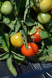 James Tomato (Solanum lycopersicum 'James') at Roger's Gardens
