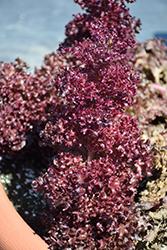 Salanova Red Incised Lettuce (Lactuca sativa 'Salanova Red Incised') at Roger's Gardens