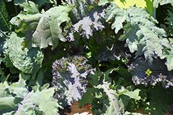 Kale Storm Mixture (Brassica oleracea var. sabellica 'Storm Mixture') at Roger's Gardens