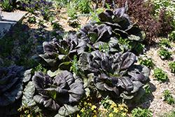 Darkibor Kale (Brassica oleracea var. sabellica 'Darkibor') at Roger's Gardens