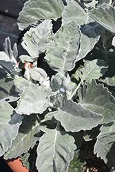 Crushed Velvet Senecio (Senecio 'Crushed Velvet') at Roger's Gardens